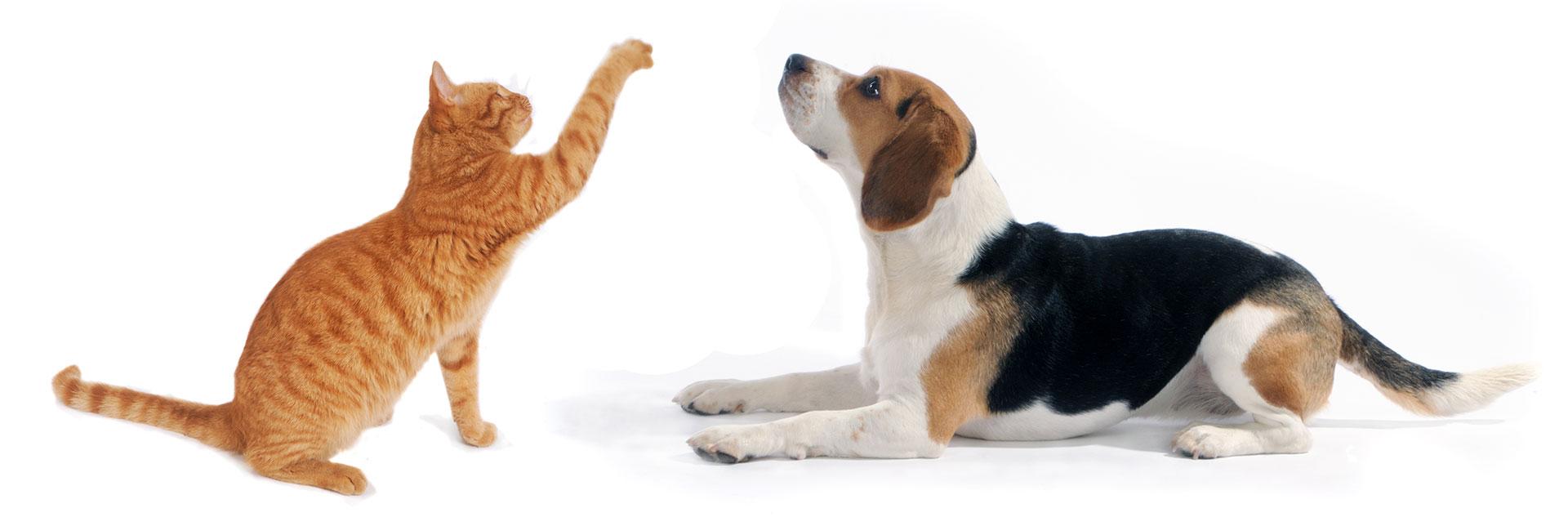 Orange cat and beagle